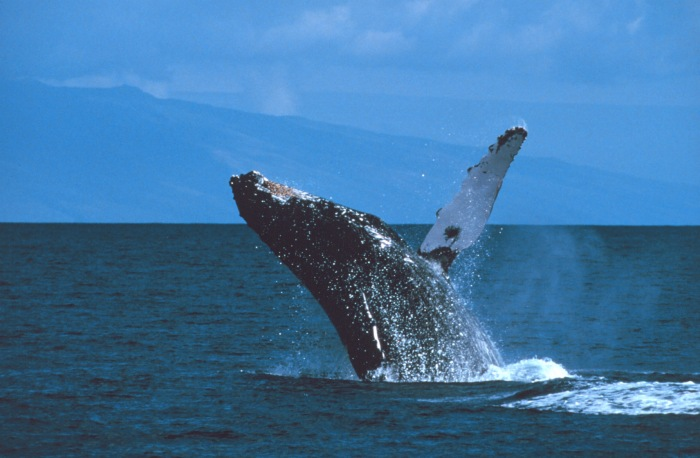 Breaching Humpback Whale, Photo credit NOAA